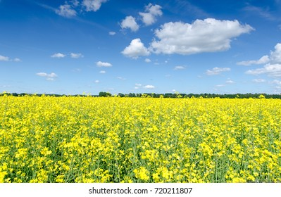 yellow flowering rape (Brassica napus) field with summer blue sky and white clouds. beautiful landscape