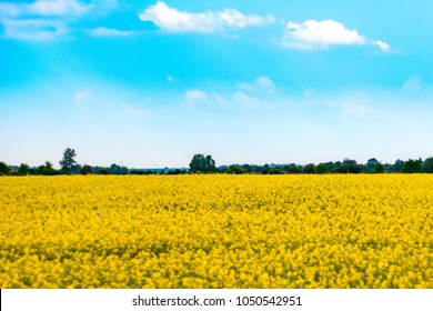 yellow flowering rape field with green trees and blue sky in sunny weather