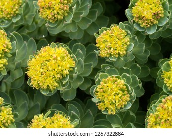 Yellow flowering Rhodiola rosea Roseroot sedum plant growing on rocky cliff in May, Scotland,UK