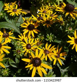 Yellow Flowering Rudbeckia Little Gold Star