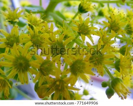 Yellow flowering sedum palmeri plant succulent stock photo edit now yellow flowering sedum palmeri plant succulent plant with yellow flowers mightylinksfo