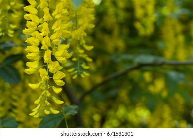 Yellow flowers of acacia