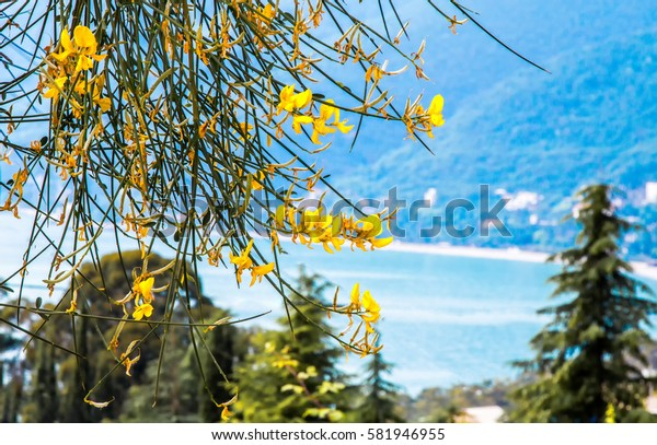 Yellow flowers against the blue sea and the blue mountains.