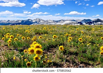 Yellow flowers in alpine meadows and snowy mountains on Independence Pass. Aspen. Denver. Colorado. United States.
