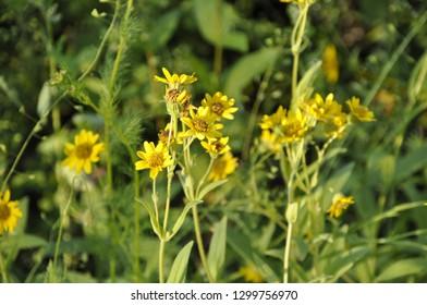Yellow flowers of Arnica foliosa Nutt. (Arnica chamissonis Less.)