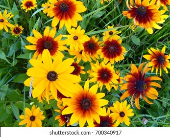 Yellow flowers asters