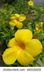 yellow flowers at Bangkok,Thailand