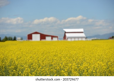 yellow flowers and barns