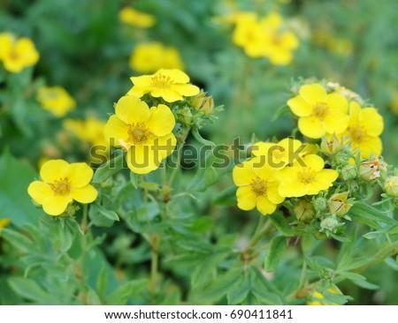 Yellow flowers bloodroot potentilla fruticosa goldfinger stock photo yellow flowers of bloodroot potentilla fruticosa goldfinger yellow flower mightylinksfo