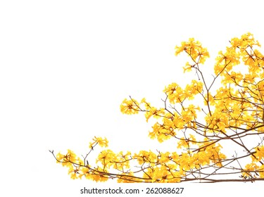 yellow flowers bloom in spring isolated on white background