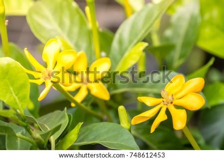 Yellow flowers blooming green leafs name stock photo edit now yellow flowers blooming with green leafs name it is gardenia carinata wallich fresh nature mightylinksfo