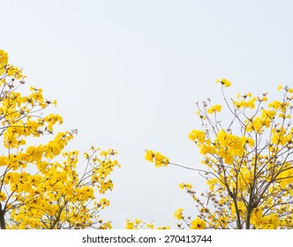 yellow flowers blossom in spring time on sky background.