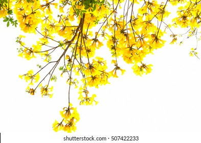 yellow flowers blossom in spring time on white background.