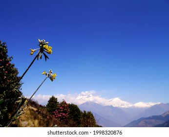 the yellow flowers  in the blue sky screen with the snow mountains in background,poonhill  nepal.