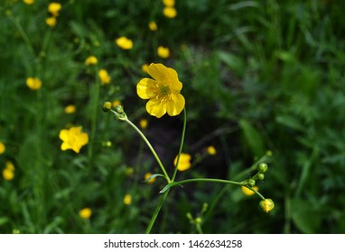 Yellow flowers branch on green grass background. Ranunculus acris, meadow buttercup, tall buttercup, common buttercup, giant buttercup
