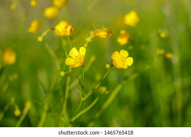 Yellow flowers branch on green grass background. Ranunculus acris, meadow buttercup, tall buttercup, common buttercup, giant buttercup.