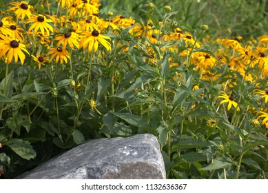 Yellow flowers with brown center and green leaves, large white rock in foreground