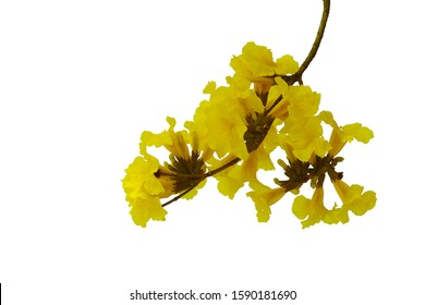 Yellow flowers bunch tree twig of Tabebuia or golden trumpet tree (Handroanthus chrysanthus) the tropical forest deciduous flowering plant isolated on white background.