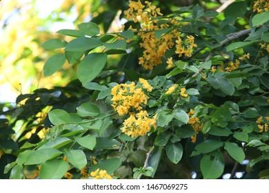 Yellow flowers of Burmese Ebony or Burma Padauk on branch, Thailand.