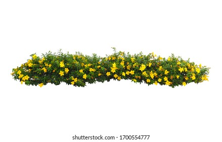 Yellow Flowers bush tree isolated on white background,Objects with Clipping Paths