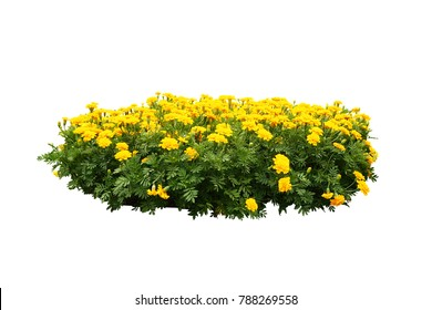 Yellow Flowers bush tree isolated on tropical plant  with clipping paths