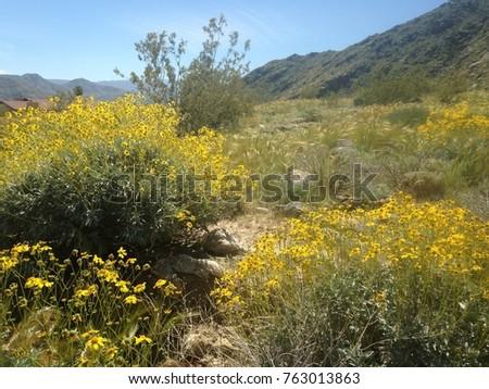 Yellow Flowers California Desert Near Palm Stock Photo Edit Now