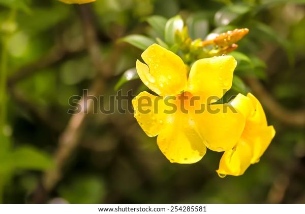 Yellow Flowers : carolina jessamine
