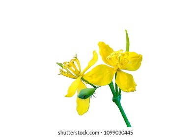 Yellow flowers celandineon a white background.