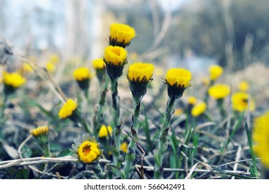 Yellow flowers, Coltsfoot