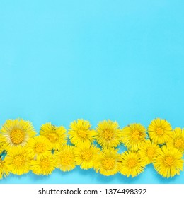 Yellow flowers of coltsfoot on blue background. (Tussilago farfara). Medical plant. Top wiev. - Image