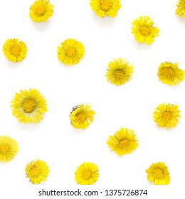 Yellow flowers of coltsfoot on white background. (Tussilago farfara). Medical plant. Top wiev. - Image