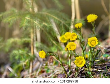 Yellow flowers coltsfoot ( Tussilago farfara ) blooming in spring forest in sun light. Other names: tash plant, coughwort, farfara, foalswort, horse foot