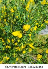 Yellow flowers of common broom, xesta or retama, cytisus scoparius, growing in Galicia, Spain