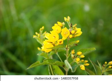 Lysimachia Images, Stock Photos & Vectors   Shutterstock