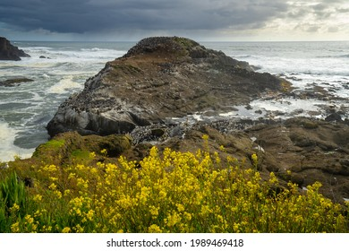 Yellow flowers and Common Murre,  Flocks of Common Murre sea birds after spending the night fishing in the ocean off the Oregon coast near Depoe Bay.The common murre or common guillemot is a large auk - Shutterstock ID 1989469418