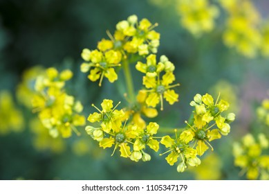 yellow flowers of common rue (Ruta graveolens) macro shot of the herbal plant, selected focus, very narrow depth of field