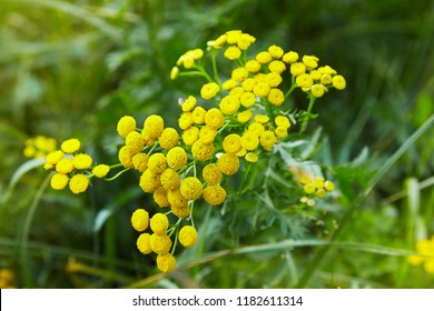 Yellow flowers of common tansy, Tanacetum vulgare. Plant of Tansy (Tanacetum vulgare, Common Tansy, Bitter Buttons, Cow Bitter, Mugwort, Golden Buttons)