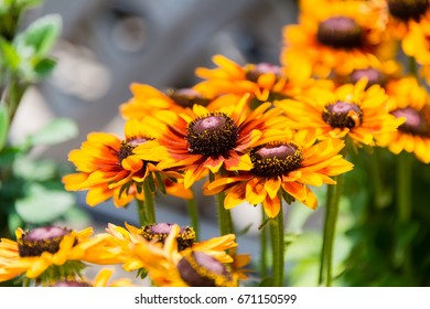 Yellow flowers of cone flower (rudbeckia) in a garden. The flowers come into bloom in summer. The language of the flower is justice.