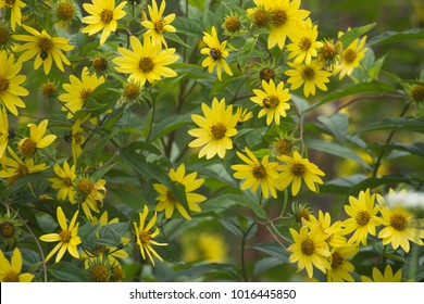 Yellow flowers of Coreopsis in a garden