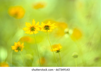 Yellow flowers of the Cosmos on a gentle background. Beautiful yellow flowers with sunlight, Selective focus
