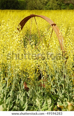 Yellow flowers cover crop field near stock photo edit now 49596283 yellow flowers as a cover crop in a field near umpqua oregon mightylinksfo