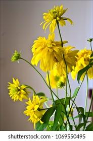Yellow flowers of cutleaf coneflowers