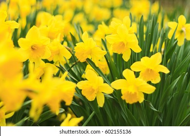 yellow flowers daffodils,spring flowers, yellow, concept, plants in the garden, beautiful colors