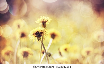 Yellow flowers of a dandelion in the field.
