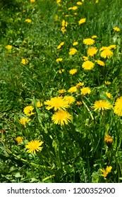 Yellow flowers dandelion, Taraxacum, blowball on green grass background