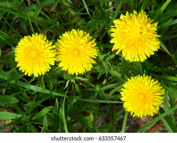 Yellow flowers of dandelions (Taraxacum officinale) illuminated by bright sunlight on background of green leaves and grass in May, top view