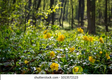 Yellow flowers during springtime in green forest in Slovak Karst, Slovakia