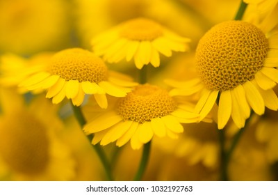 Yellow flowers of dyer's camomile (Anthemis tinctoria) - Shutterstock ID 1032192763