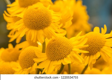 Yellow flowers of dyer's camomile (Anthemis tinctoria)