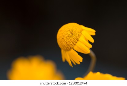 Yellow flowers of dyer's camomile (Anthemis tinctoria) - Natural background with space for text